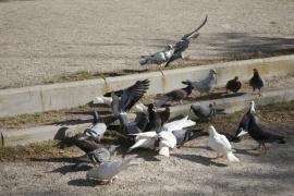 Una plaga de palomas obliga a poner jaulas en el campanario de la iglesia de Bunyola