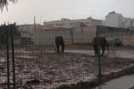 PACMA Baleares denuncia la «terrible situación» de los caballos de las calesas