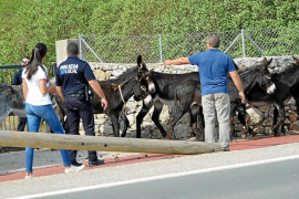 Fuga de burros en Andratx