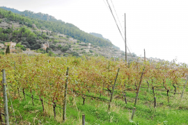 El vino propio de malvasía se consolida