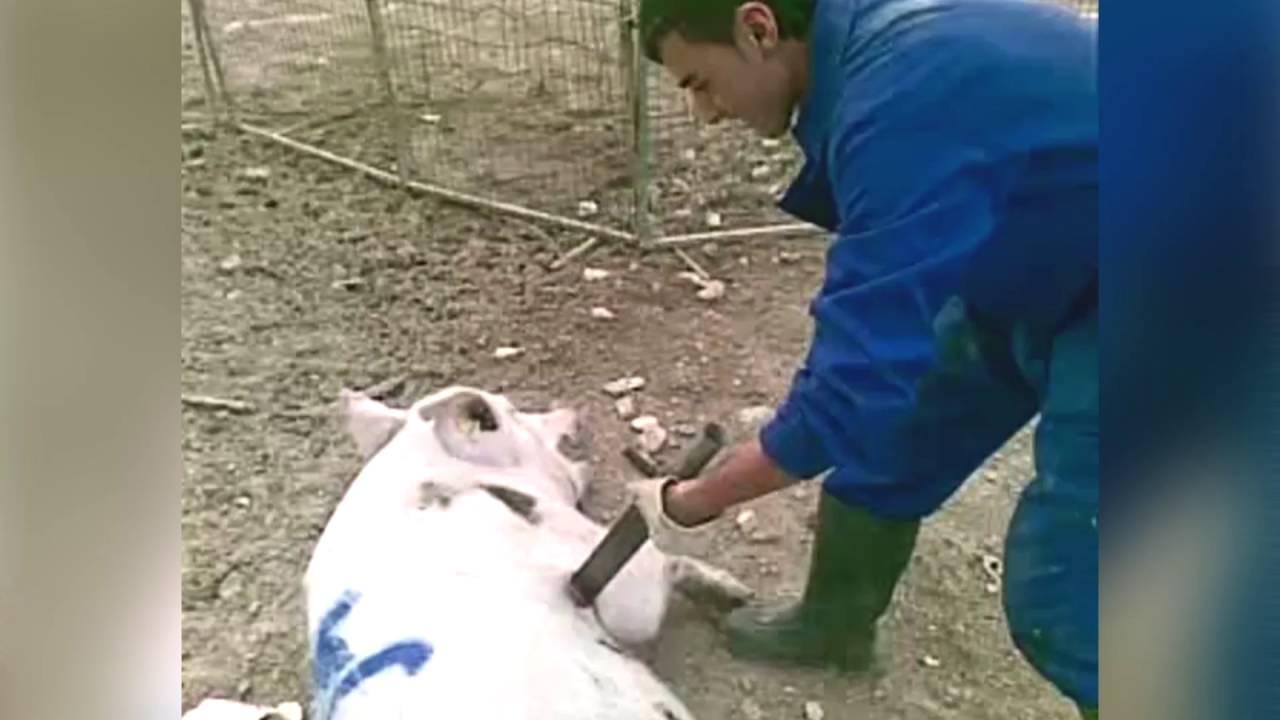 Condena a dos trabajadores de una granja de cerdos por matarlos a golpes y espadazos