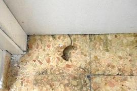 La Apima del colegio Can Misses denuncia que una maestra encontró una rata en clase