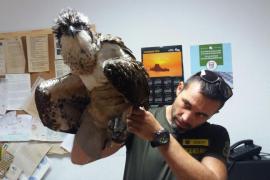 Un águila pescadora es rescatada gracias a la colaboración ciudadana