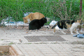 Sa Pobla pondrá multas de hasta 3.000 euros por alimentar animales en plena calle