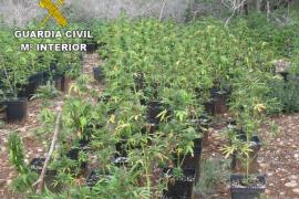 Un detenido tras la intervención de una plantación de marihuana en Porreres