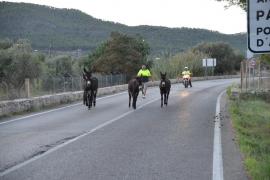 Los burros que limpian torrentes en Andratx se vuelven a escapar