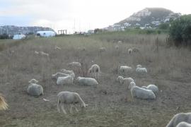 Ovejas abocadas a la muerte en Andratx