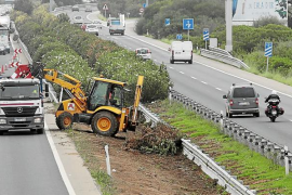 El Consell arranca 540 adelfas de la mediana de la autopista de Llucmajor