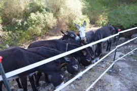Roban los bebederos y la comida de los burros que limpian los torrentes en Andratx