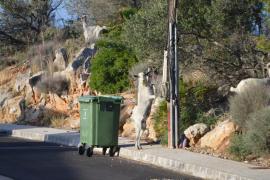 Invasión de cabras en Cala Llamp y Cala Marmacen