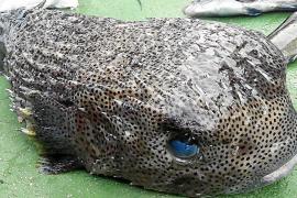 La especie encontrada en aguas de Menorca podría ser un pez erizo