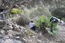 Comienzan las tareas en el yacimiento arqueológico de Es Claper des Gegants