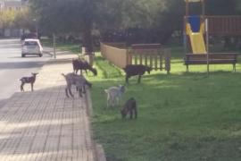 Invasión de cabras en el Port de Pollença
