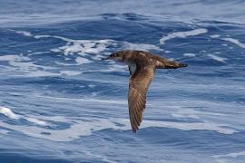 La pardela balear es, según la UICN, el ave marina más amenazada de Europa