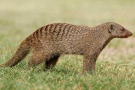 Se buscan cinco mangostas perdidas en Sant Jordi