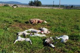 Matanza de ovejas en Son Ferriol
