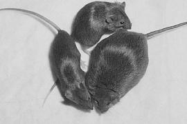 Recogen 17.000 firmas contra el «exterminio» de las ratas en París