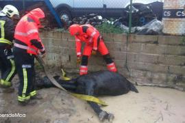 Los bomberos rescatan a un perro en Pollença y a un caballo en Alcúdia