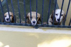 El 92 % de los perros recogidos durante 2016 en Son Reus han sido adoptados