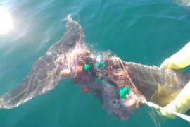 Liberan a un delfín que se había enredado con una red en la bahía de Palma