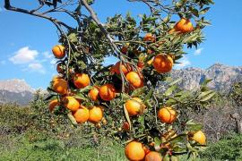 La clementina de Sóller incrementa un 30 % su producción por su mayor rentabilidad