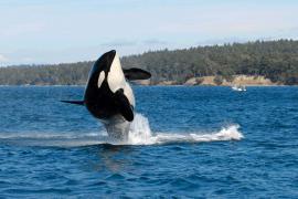 Fallece la orca más vieja del mundo con más de 115 años de edad
