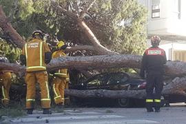 Un árbol cae sobre un coche en Palma a causa del fuerte viento