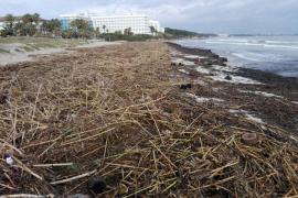 El Ajuntament de Muro exige al Govern una actuación inmediata para limpiar la playa