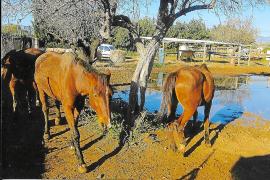 Denuncian los problemas de insalubridad causados por unos caballos en sa Indioteria
