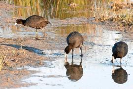 Repunta el número de aves en s'Albufera, pero aún son la mitad que siete años atrás