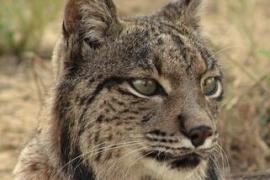 Muere 'Boliche', el lince macho más longevo de Doñana