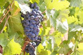 Se busca el mejor 'vi pagès' de Santa Eulària