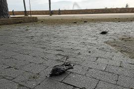 Los estorninos hallados muertos en Dalt Murada fueron envenenados