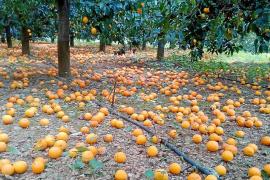 La temporada de la naranja será buena a pesar de las pérdidas por lluvia y viento