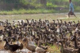 Sacrifican otros 7.000 patos a causa de la extensión de la gripe aviar a otras 6 granjas