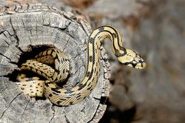 El Govern estudia la elevada presencia de serpientes en el Pla, Calvià y Llevant