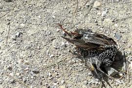 Medio centenar de estorninos vuelven a aparecer muertos en Dalt Murada, en Palma