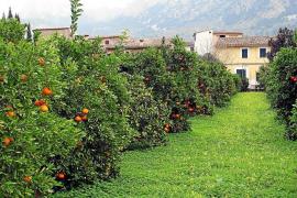 Localizan en Valencia una reserva de naranja 'sollerica' que permite su protección