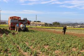 Sa Pobla inicia la exportación de patata temprana con un 80 % de pérdidas