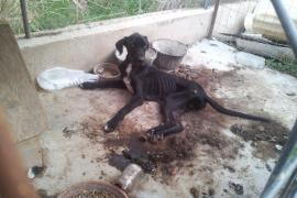 Un acusado de maltrato animal en Sóller: «Si no podía cuidar de mí, no iba a cuidar al perro»
