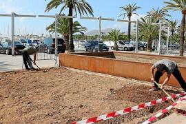 La principal planta invasora de la costa ornamenta el Paseo Marítimo de Alcúdia