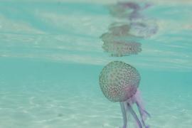 Imagen de la medusa Pelagia noctiluca entre aguas de Cala Salada y Cala Saladeta