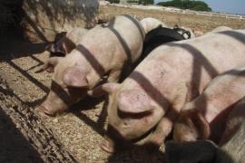 Mueren 9.000 cerdos calcinados en un incendio en Valencia