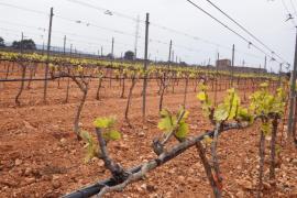 Viveros Villanueva siembra 350.000 cepas de planta nueva en Biniagual