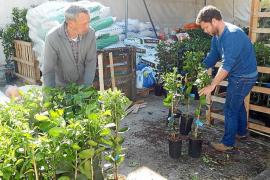 La Cooperativa Sant Bartomeu de Sóller empieza a repartir 1.400 naranjos entre los payeses