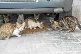 Una plaga de gatos callejeros ocasiona molestias a los vecinos de Estellencs