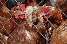 El Corte Inglés se compromete a retirar la venta de huevos procedentes de gallinas en jaulas