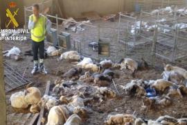 Detenida una ganadera por dejar morir de hambre a 350 cabras