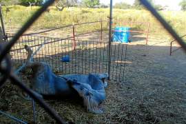 La policía rescata a un caballo al borde de la muerte en una finca de Inca