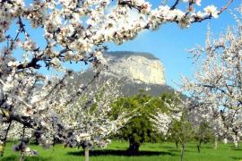 Mallorca recupera la producción en 1.500 hectáreas de almendros tras años de declive